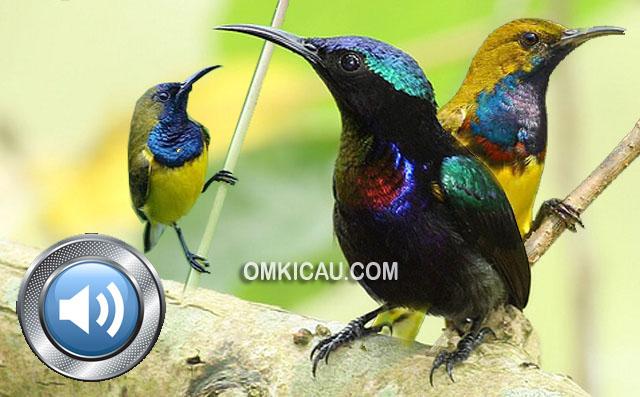 Kombinasi Suara Burung Madu Untuk Masteran Dan Memancing Bunyi