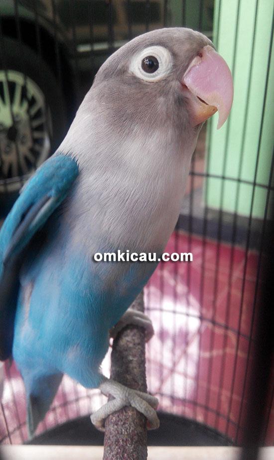 Lovebird Afika
