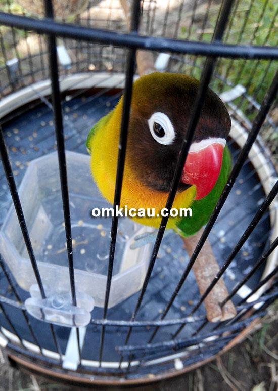 Lovebird Buser