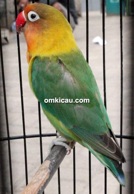 Lovebird Veloz