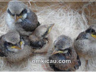 Merawat anakan burung cendet