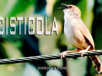 Audio lima jenis burung cisticola untuk masteran