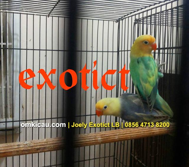 Download 105 Foto Gambar Burung Lovebird Pb Green HD Terbaru Free