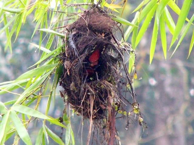 Sarang burung sempur-hujan sungai yang tergantung mirip sarang manyar | Foto: Malaysian birds