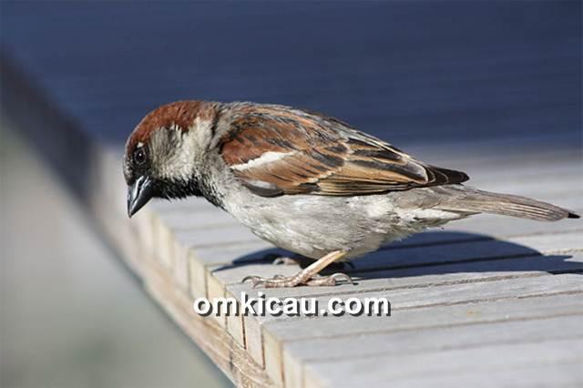 Burung gereja yang banyak ditemukan di kawasan perkotaan