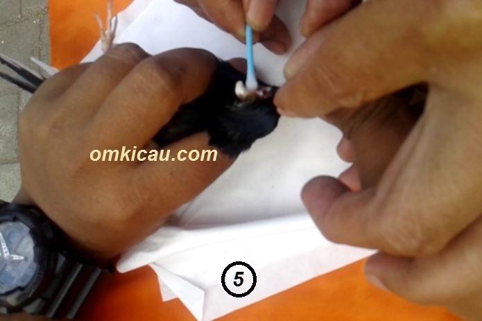 Cara mengobati burung sakit benjol bengkak