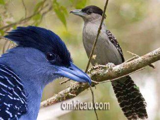 Suara burung giant antshrike untuk masteran