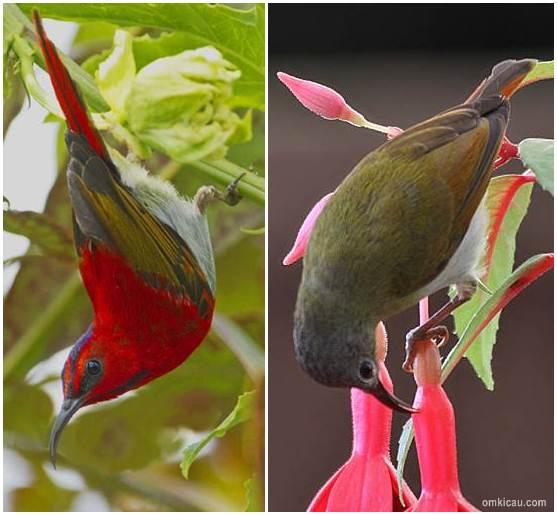 Beda antara burung-madu ekor-merah jantan (kiri) dan burung betina