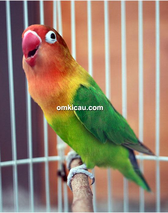 Lovebird Judika