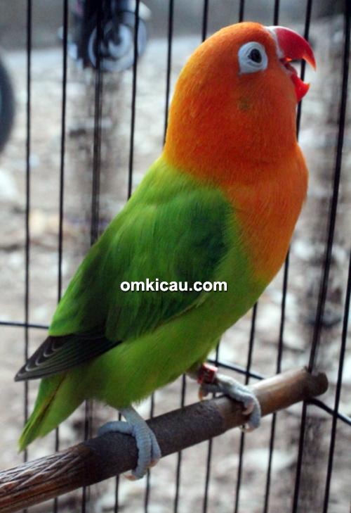 Lovebird Bionic milik Om Aidy Wijaya