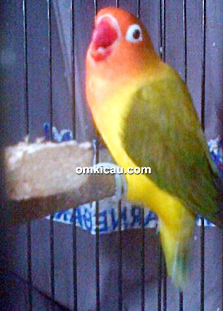 Lovebird Jibaku