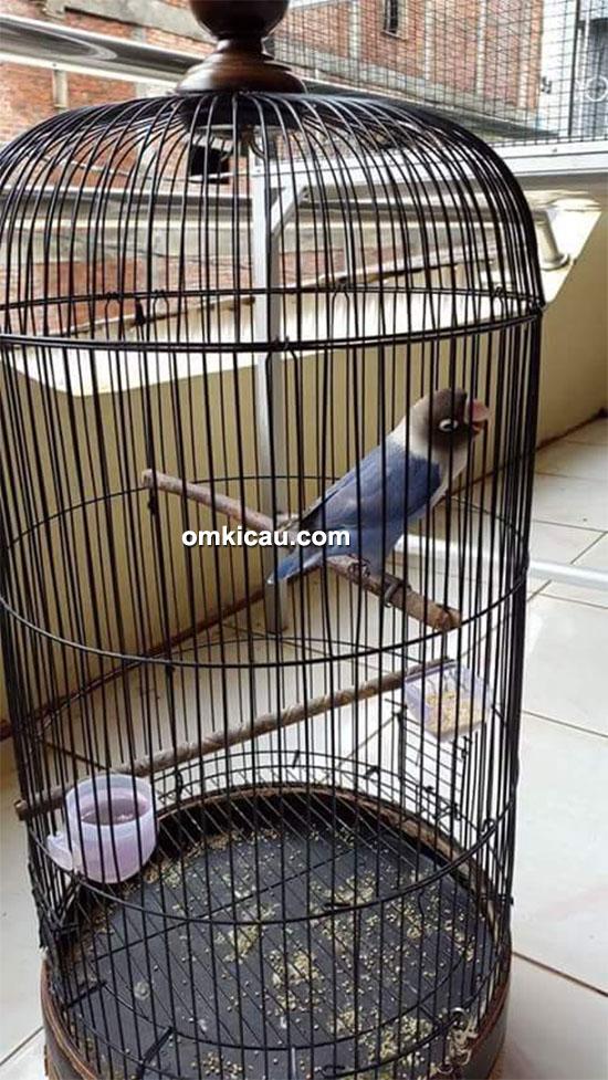 Lovebird Laura milik Om Herman