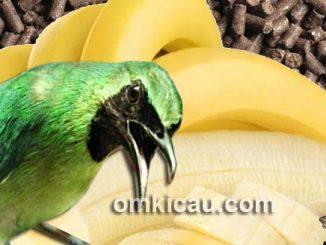 Butuh trik tersendiri agar burung cucak hijau mini mau makan voer