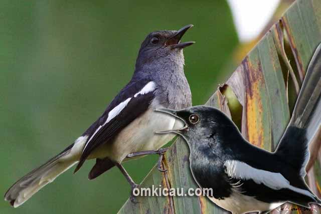 Burung betina bisa dimanfaatkan untuk mengatasi burung yang ngedrop