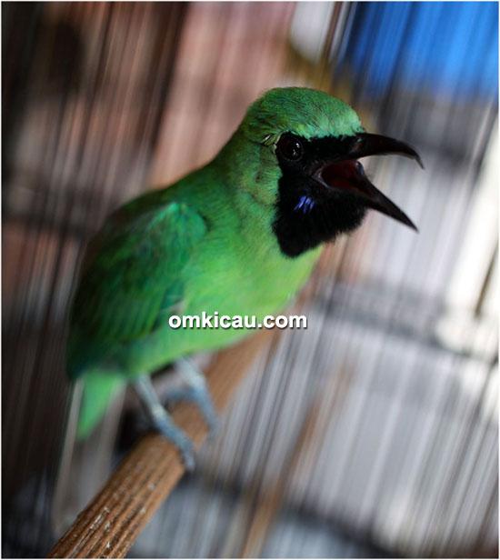 Cucak hijau Naga Ijo