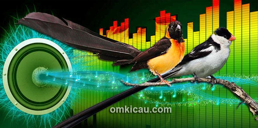 Audio masteran pin-tailed dan paradise whydah