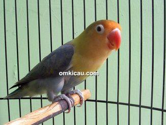 Lovebird parblue Parjo
