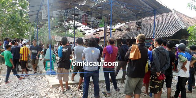 Latber Exclusive BBC Cirebon kelas lovebird