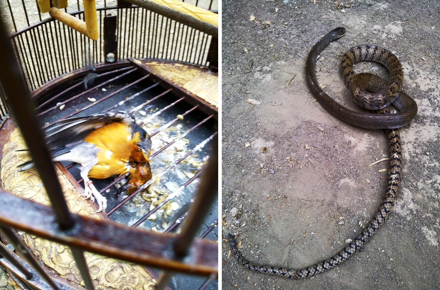 cara mencegah burung dimakan ular