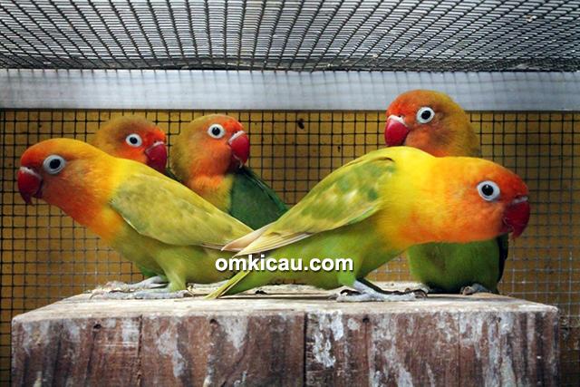 Lovebird impor
