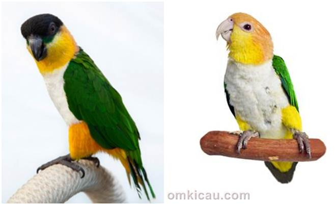 Black headed caique (kiri) dan white bellied caique, dua jenis burung parbeng yang cukup popular di kalangan parrot mania