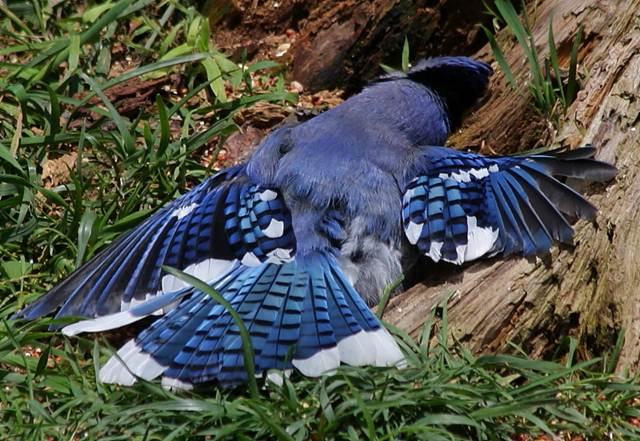 Blue jay yang sedang membaringkan tubuhnya di atas sarang semut