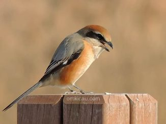 Bull-headed Shrike Lanius bucephalus, Photo © Andreas Kim (Birdskorea.org)