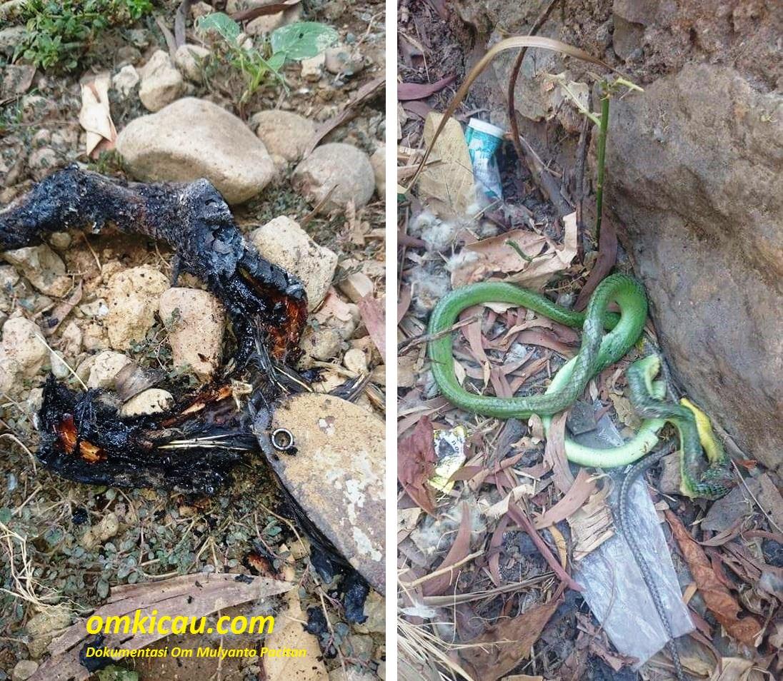 burung anis kembang dimakan ular hijau
