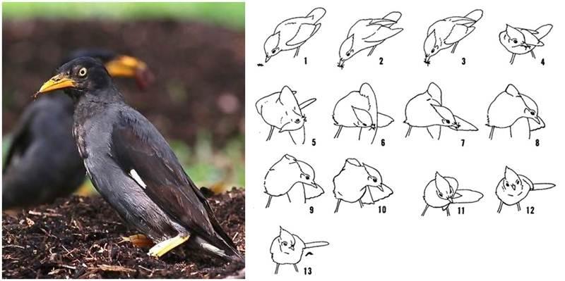 Burung jalak yang siap untuk 'anting' dan gambar cara burung mandi semut (kanan)