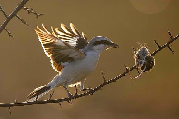 Kebiasaan unik burung cendet menancapkan mangsanya pada sebatang duri