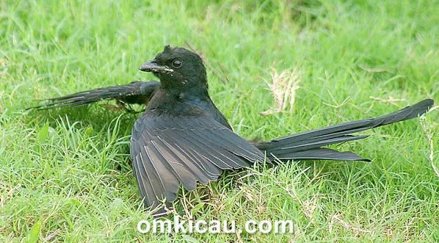 Perilaku unik burung yang belum banyak diketahui yaitu mandi semut atau anting.