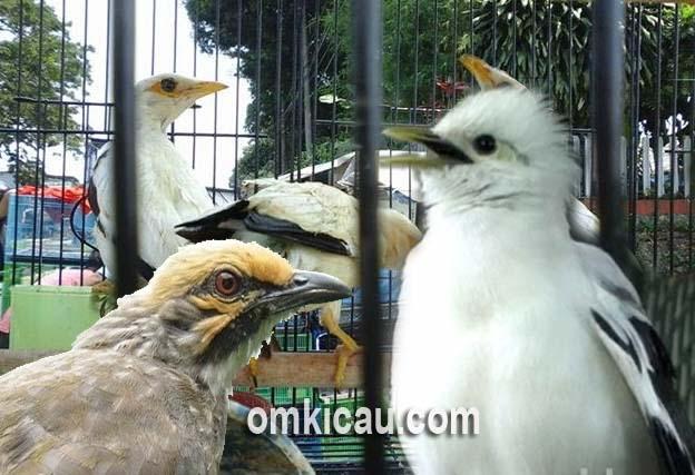 Waspada terhadap modus penipuan jual-beli burung kicauan