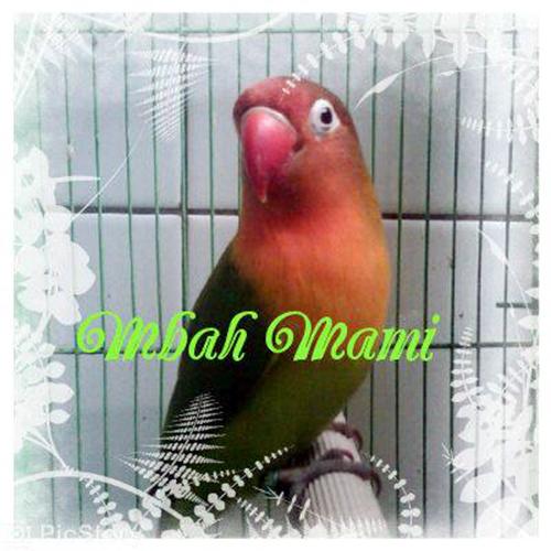 Lovebird Mbah Mami