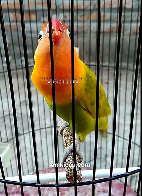 Lovebird Venna milik Om Moxer