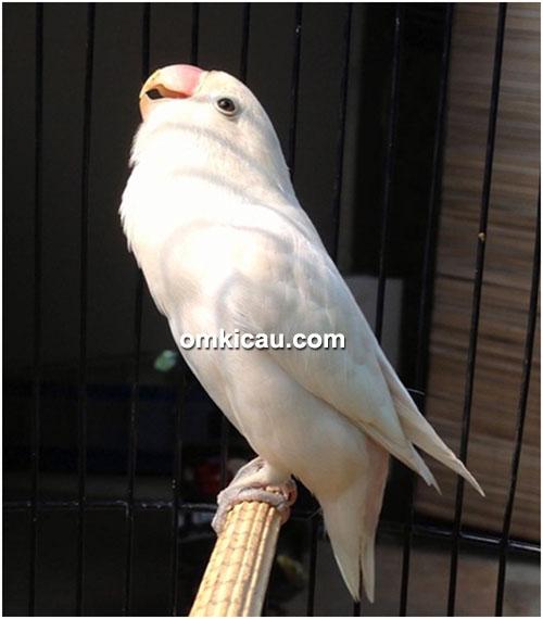 Gaya lovebird White sangat bervariasi.