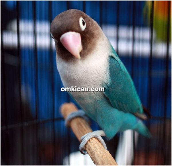 Lovebird Lucky Luke