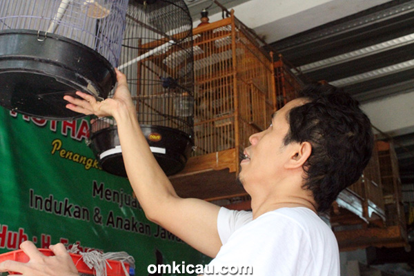 Penangkaran murai batu Royhan BF Jakarta