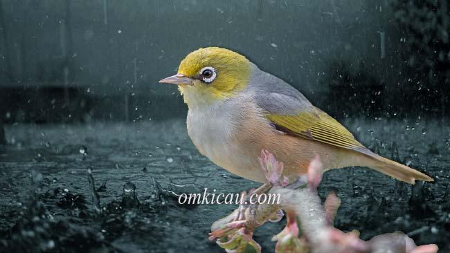 Perawatan pleci pada musim hujan