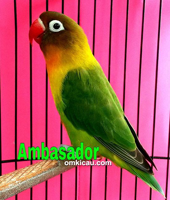 Lovebird Ambassador
