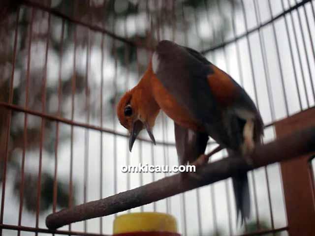 anis merah Raja Lenong