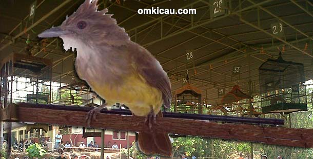 Burung cucak jenggot