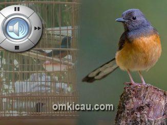 Audio murai batu betina yang bisa digunakan untuk memancing bunyi burung yang stres atau macet bunyi