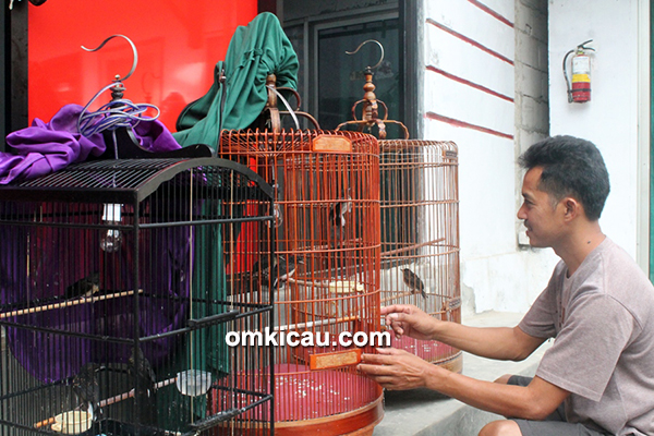 Breeding murai GMS BF Tangerang – Jemur anakan murai batu