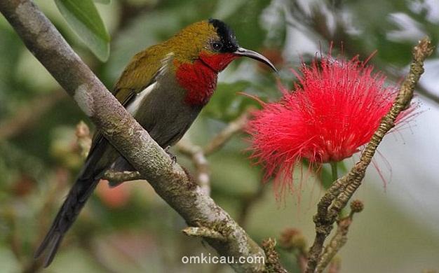 Burung-madu gunung Burung-madu gunung atau white-flanked sunbirds yang merupakan burung endemik Pulau Jawa