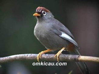 Poksay genting atau mandarin, salah satu jenis burung poksay yang popular di kalangan kicaumania