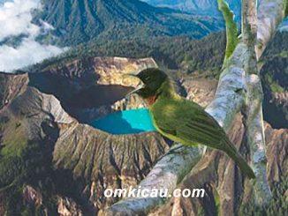 Burung samyong yang dijuluki sebagai burung arwah / garugiwa