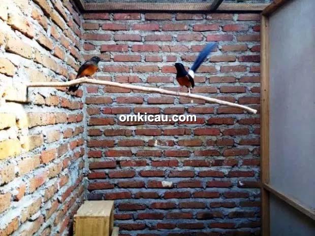 Breeding murai batu AJBF Surabaya