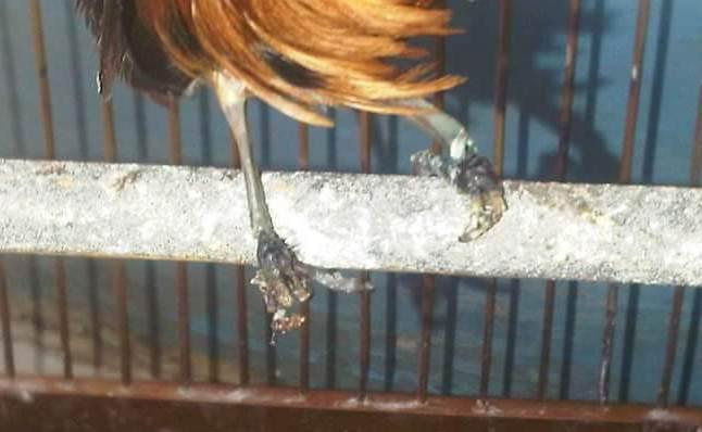 kaki burung yang melepuh setelah diolesi salep kulit untuk manusia (foto koleksi komunitas kocaumania cibinong)