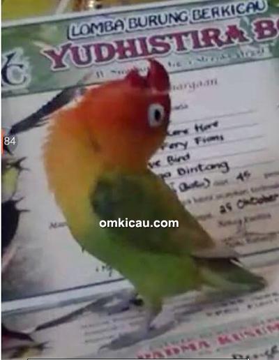 Lovebird Jibril