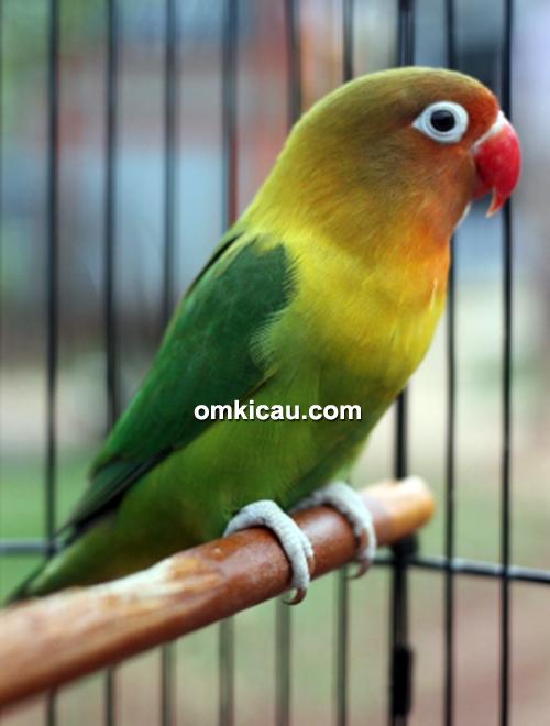 Lovebird Kampret